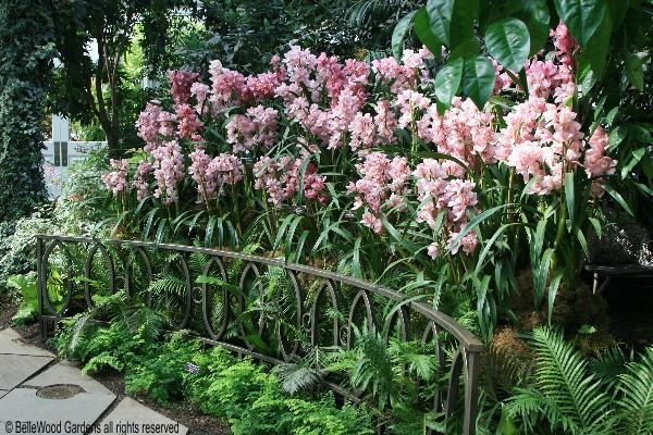 Orchidee cymbidium manutenzione e coltivazione paris fiori for Orchidee da esterno